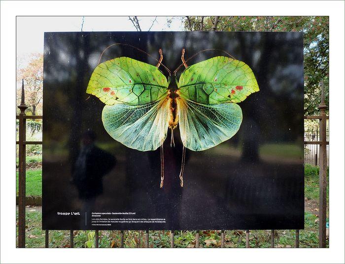 Cycloptera